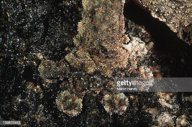 leaf-tailed gecko uroplatus fimbriatus foot adapted for camouflage madagascar â© m. harvey ma_gec_f_016 - ヒロオヤモリ ストックフォトと画像