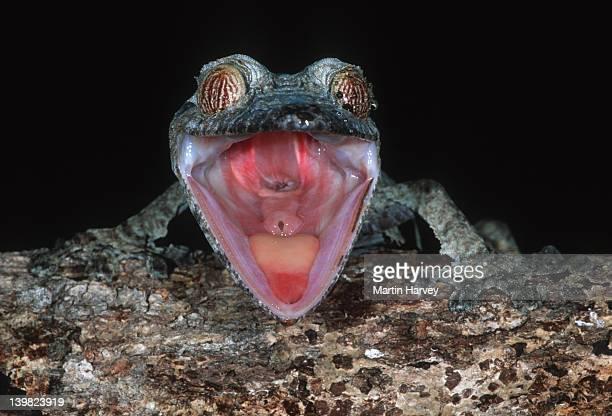 leaf-tailed gecko uroplatus fimbriatus when alarmed will open its mouth to display red interior madagascar â© m. harvey ma_gec_f_007 - uroplatus fimbriatus foto e immagini stock