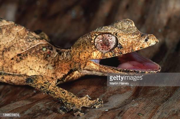 leaf-tailed gecko uroplatus phantasticus camouflaged to resemble dry leaves madagascar â© m. harvey ma_gec_p_004 - uroplatus fimbriatus foto e immagini stock