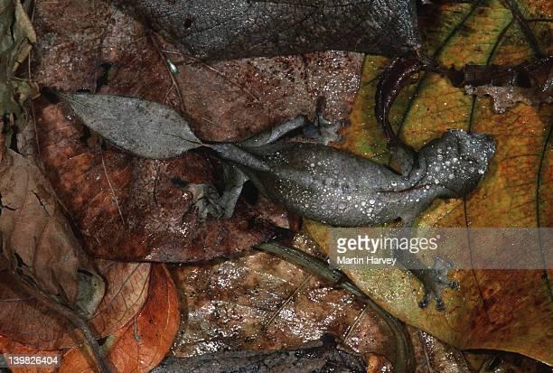 leaf-tailed gecko uroplatus phantasticus camouflaged to resemble dry leaves madagascar â© m. harvey ma_gec_p_007 - uroplatus fimbriatus foto e immagini stock