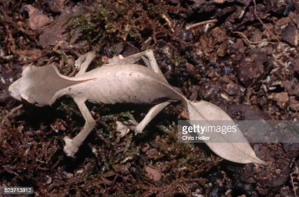 Leaf-Tailed Uroplatus phantasticus Gecko