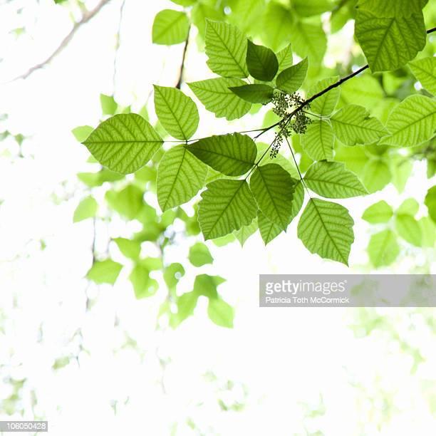 Leafy Green Canopy