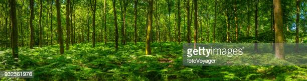 leafy green fern frond forest idyllic summer woodland glade panorama - panoramic stock pictures, royalty-free photos & images