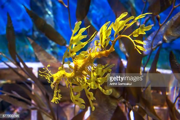 Leafy Sea Dragon, Blue ocean water