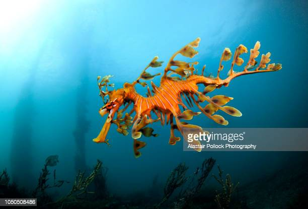 leafy sea dragon in south australia 2 - reef stock pictures, royalty-free photos & images
