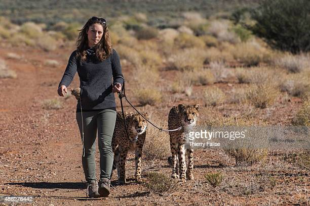 Leah Brousse a French woman runs the Western Cape cheetah conservation project at Inverdoorn Game Reserve The project takes care of African cheetah...