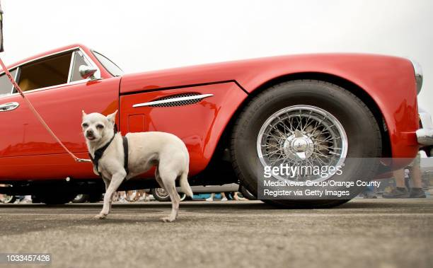 Leah hangs out while her owner Anne Proffit of Long Beach looks at a bright red1957 AstonMartin and reminisces about a similar car she had a lifetime...