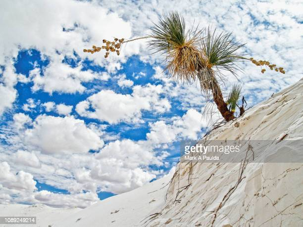 leaning cactus on a sand dune - chihuahua desert stock pictures, royalty-free photos & images