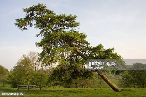 Leaning Conifer Tree, Chedworth, UK