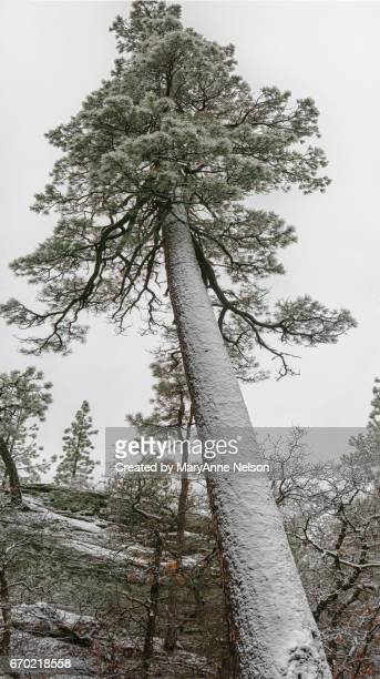 Leaning Pine Tree in Winter Panorama