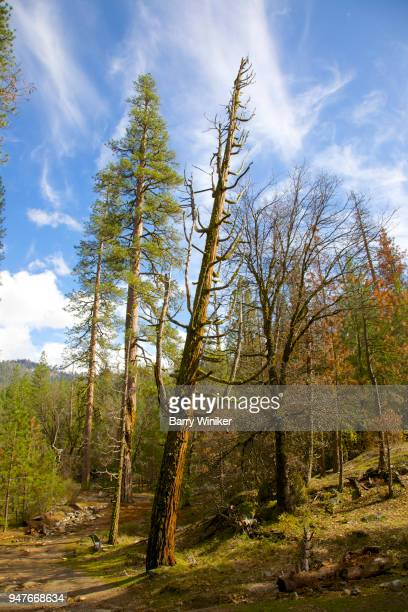 Leaning pine tree in woods at Yosemite