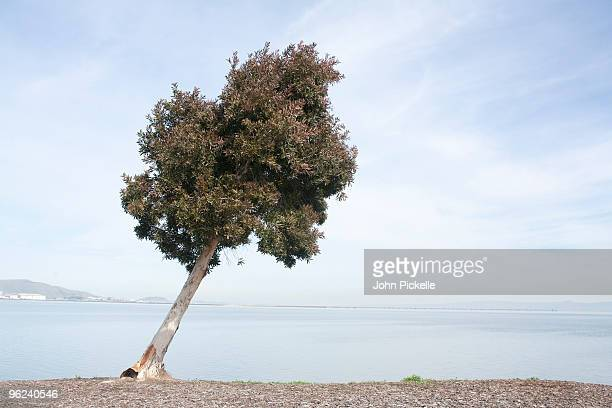 leaning tree with ocean view - the slants stock pictures, royalty-free photos & images
