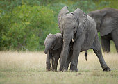 two young african elephants loxodonta africana