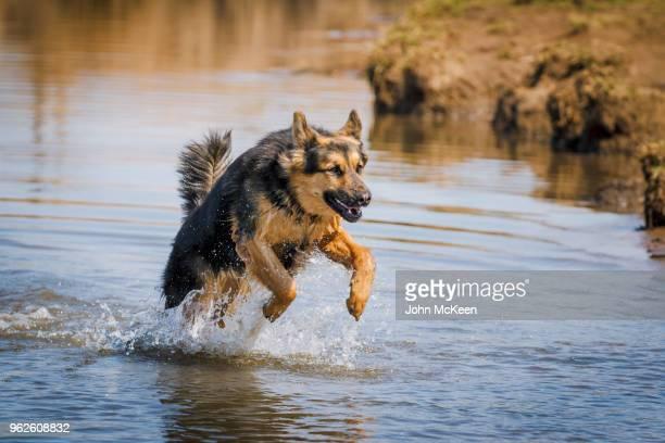 leaping german shepherd - cão pastor alemão - fotografias e filmes do acervo