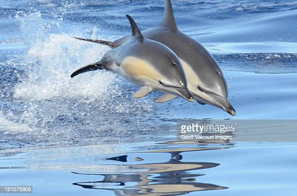leaping in harmony - dolphins stock photos and pictures