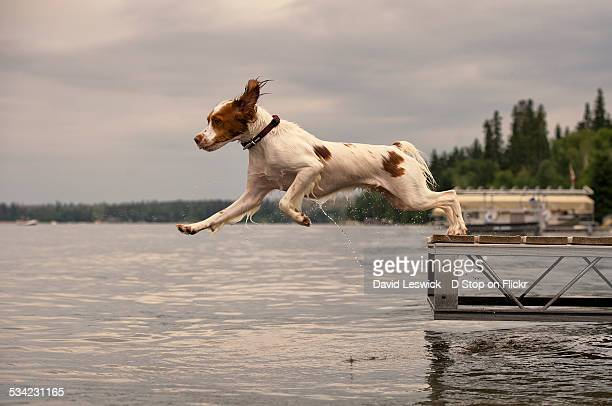 leaping off the dock - brittany spaniel stock pictures, royalty-free photos & images