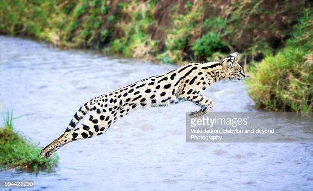 Leaping Over Stream at Ngorongoro Crater, Tanzania - Serval Cat