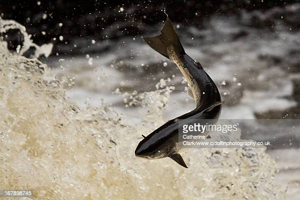 leaping salmon (salmo salar) - animals in the wild stock photos and pictures