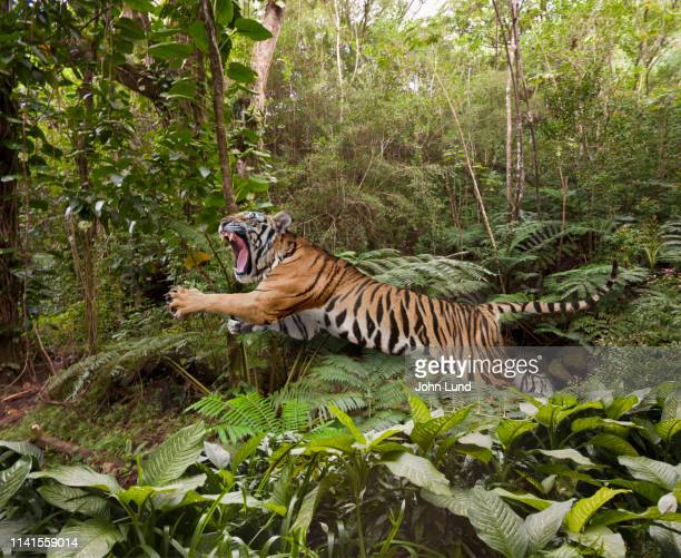 leaping tiger in the jungle - animals hunting stock pictures, royalty-free photos & images