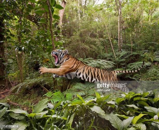 leaping tiger in the jungle - especies amenazadas fotografías e imágenes de stock