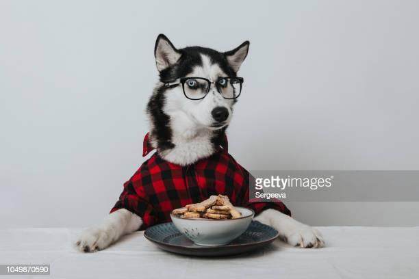 犬を学んだ - シベリアンハスキー ストックフォトと画像