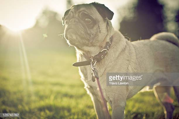 Leashed pug by golden sunlight