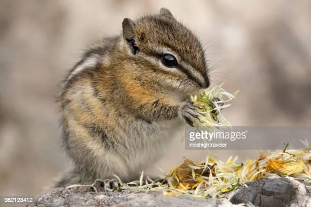 Least chipmunk eats flower seeds Stone Mountain Provincial Park British Columbia Canada