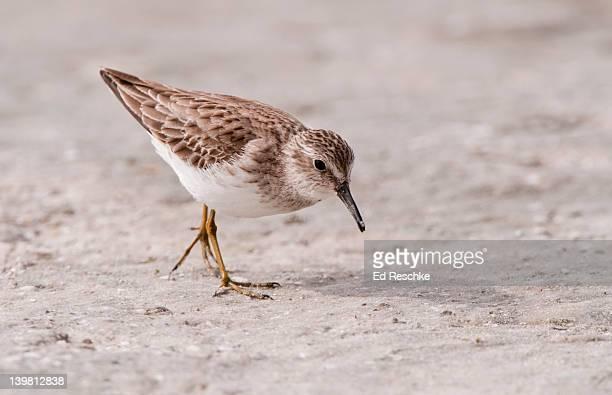 least sandpiper in winter plumage (calidris minutilla) in typical wet habitat. siesta key, florida, usa. - siesta key fotografías e imágenes de stock