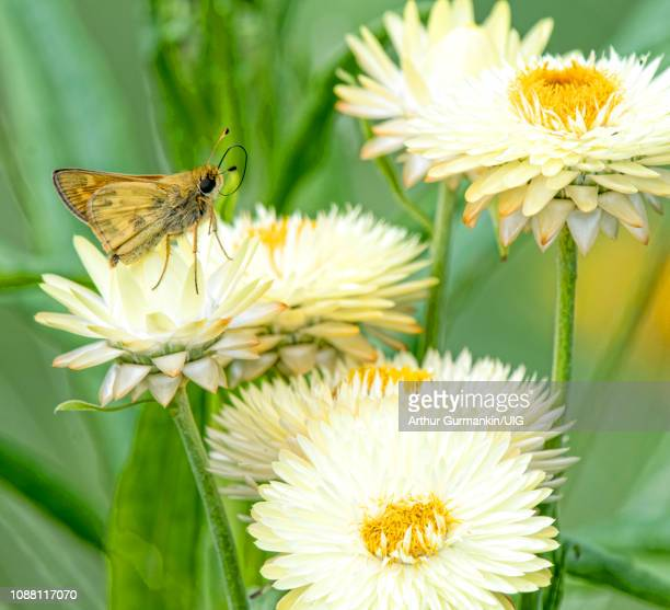 least skipper butterfly, cosmos flowers - arthur foto e immagini stock