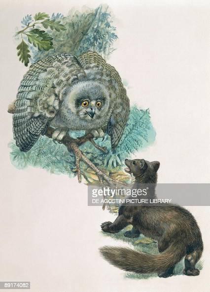 Aninimal Book: Least weasel attacking an Eurasian eagle-owl News Photo ...