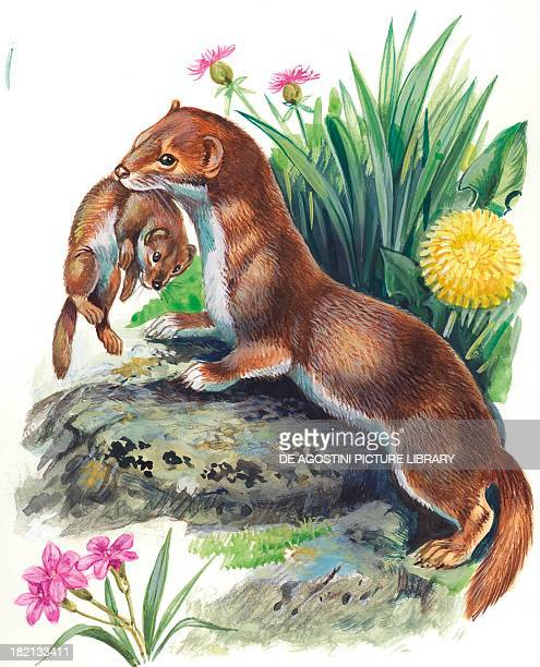 Least Weasel carrying her pup by grabbing it by its back illustration