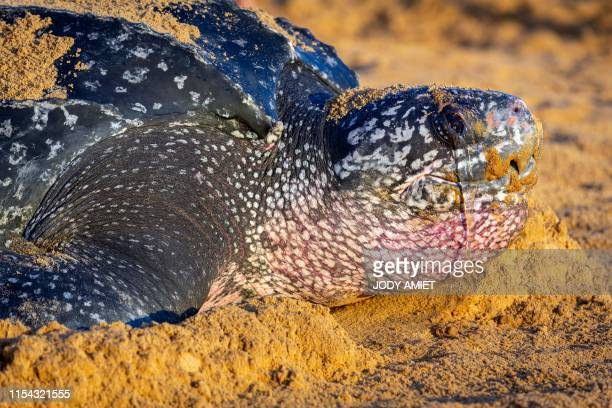 A leatherback sea turtle also known as the Luth turtle lays eggs under the supervision of Kwata association members on a beach in RemireMontjoly...