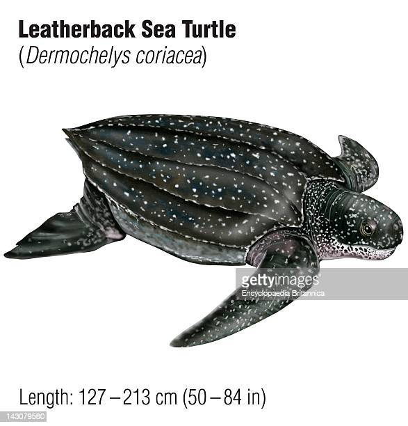 Leatherback Sea Turtle An Endangered Species