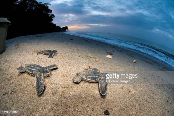 Leatherback Sea Turtle Dermochelys Coriacea On The Beach Grande Riviere Trinidad