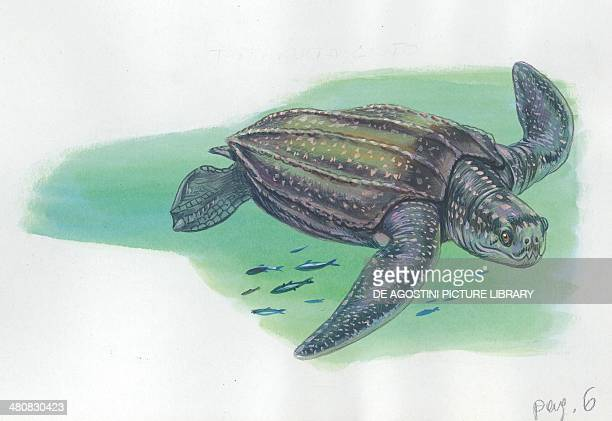 leatherback sea turtle illustration
