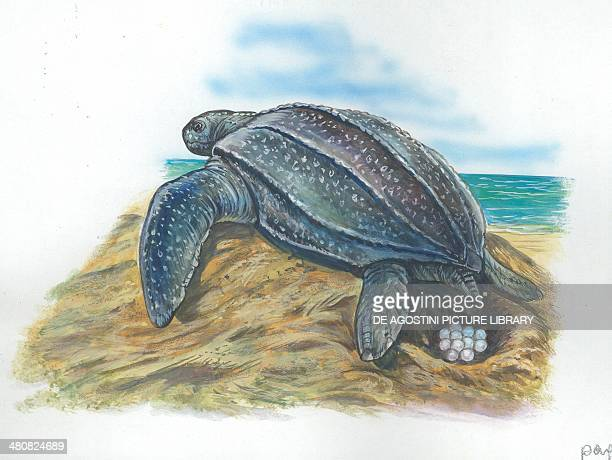 Leatherback sea turtle laying eggs illustration