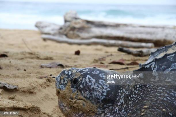 leatherback sea turtle - leatherback turtle stock pictures, royalty-free photos & images