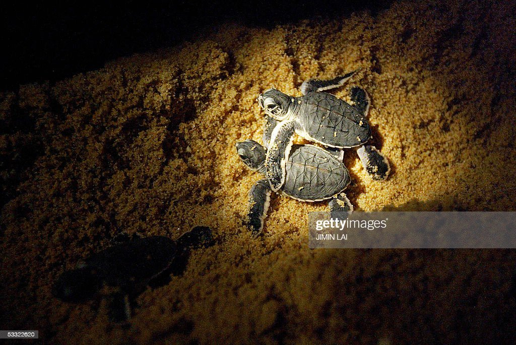 Leatherback turtle hatchlings make thei : News Photo