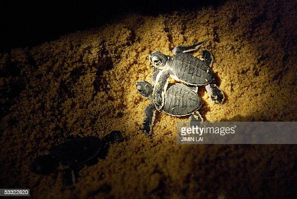 Leatherback turtle hatchlings make their way into the sea after being released on a beach at a turtle sanctuary near the eastern town of Kemaman late...