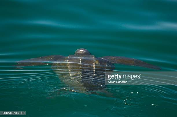 leatherback turtle (dermochelys coriacea) in sea - leatherback turtle stock pictures, royalty-free photos & images