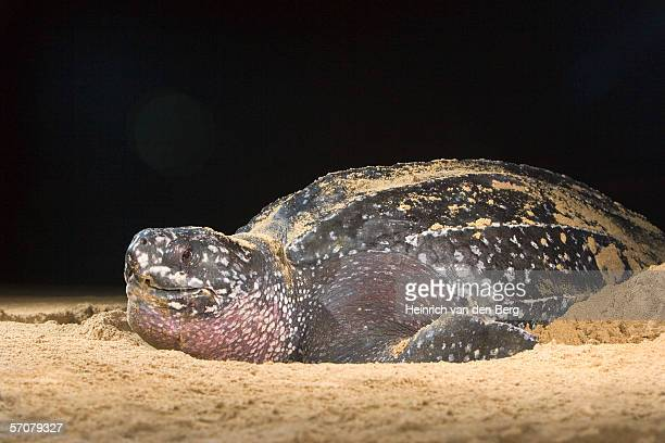 leatherback turtle (dermochelys coriacea) laying eggs on beach - leatherback turtle stock pictures, royalty-free photos & images