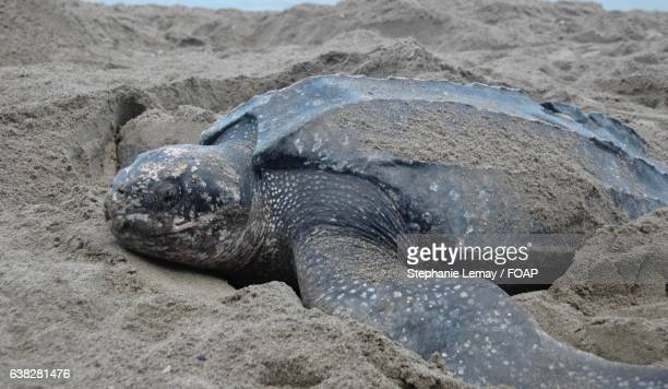 leatherback turtle on beach - leatherback turtle stock pictures, royalty-free photos & images