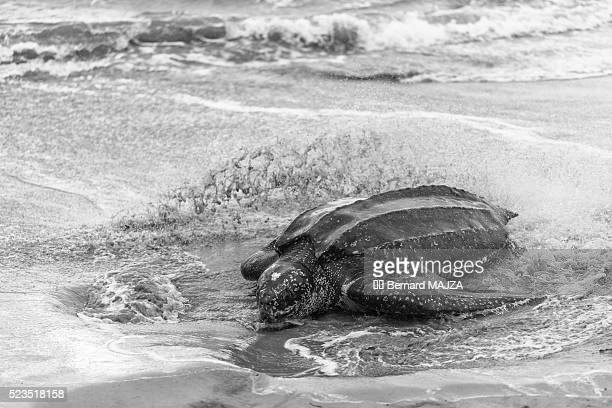 leatherback turtle - leatherback turtle stock pictures, royalty-free photos & images