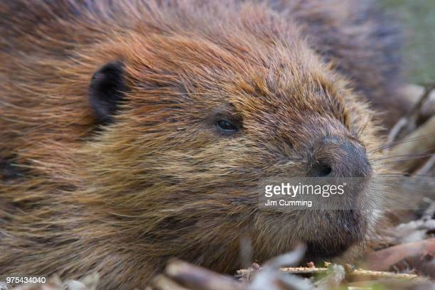 leave it to beaver - leave it to beaver stock pictures, royalty-free photos & images