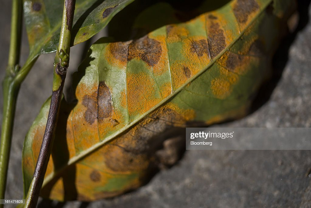 Leaves affected by the roya coffee fungus show damage on the Finca San Isidro Chacaya coffee plantation in Santiago Atitlan, Guatemala, on Friday, Feb. 8, 2013. The Guatemalan National Coffee Association said that rust disease, known as roya in Spanish, will destroy 15 percent of the 2012-2013 harvest and as much as 40 percent of next season's harvest. Photographer: Victor J. Blue/Bloomberg via Getty Images