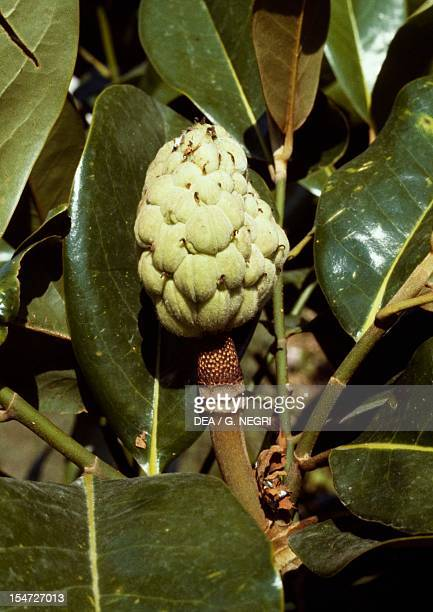Leaves and achenes cluster of Southern magnolia Magnoliaceae
