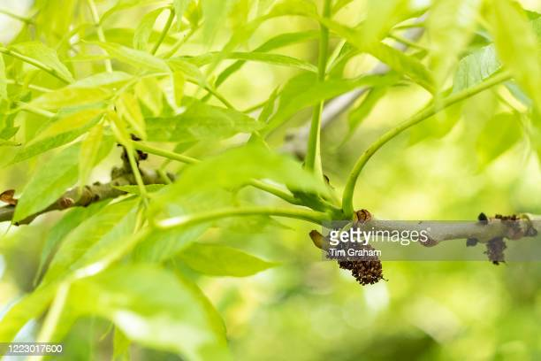 Leaves and branch of Common Ash tree Fraxinus showing staminate flower galls likely caused by eriophyid mite which seem not to harm the health of the...