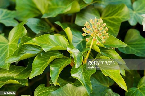 Blätter und Blumen von ivy