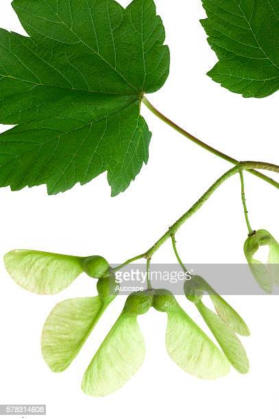 Leaves and fruit or samara from Maple tree Acer sp each of the two winged halves contains a single seed and the design enables seed dispersal by wind