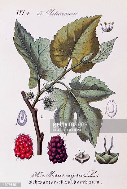 Leaves and fruits of Black mulberry artwork by Otto Wilhelm Thome from Flora von Deutschland Osterreich und der Schweiz 1885 Germany 19th century...